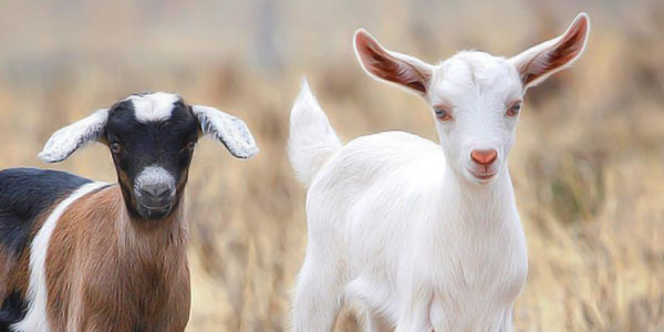 Can Goats Put an End to Child Marriage?